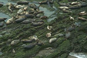 Pacific Harbor Seals by Tom Kelley