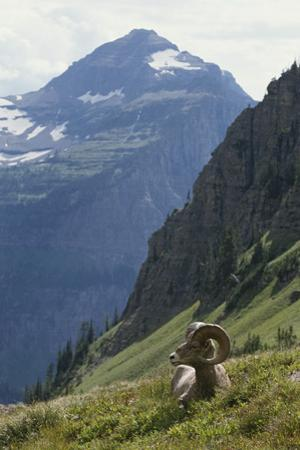 A Bighorn Sheep Ram, Ovis Canadensis, Rests in an Alpine Meadow