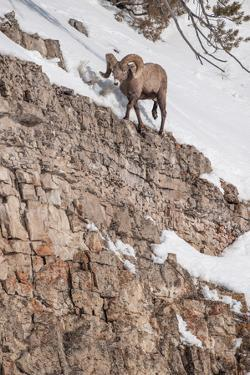A Bighorn Sheep Walks on the Edge of a Steep Cliff by Tom Murphy