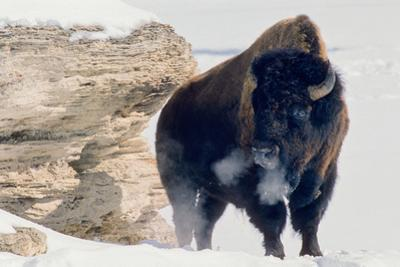 A Bison Bull Soaks Up the Winter Sun Close to the Sunny South Side of the Soda Butte Cone by Tom Murphy