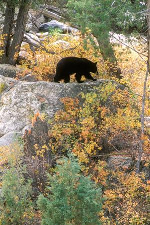 A Black Bear Forages for Rose Hips and Leafy Plants Along the Yellowstone River