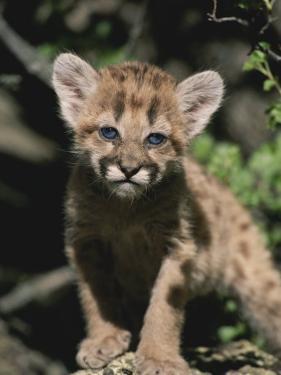 A Captive Mountain Lion Cub (Felis Concolor) Takes a Walk by Tom Murphy