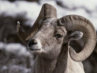 A Close View of the Face of a Bighorn Sheep Ram