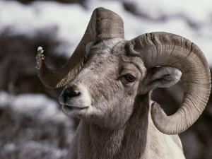 A Close View of the Face of a Bighorn Sheep Ram by Tom Murphy