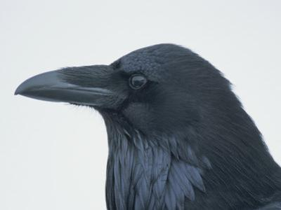 A Close View of the Head of a Raven, Corvus Species