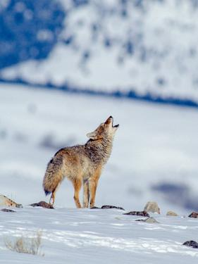 A Coyote Howls in a Winter Landscape by Tom Murphy