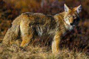 A Coyote on the Lookout for Mice and Other Prey by Tom Murphy