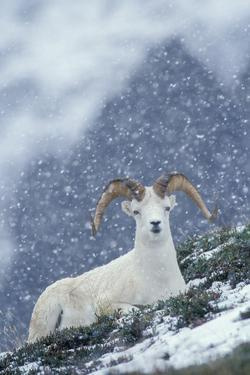 A Dall's Sheep Rests on a Hillside in a Snowstorm by Tom Murphy
