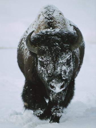 A Frost-Covered American Bison Bull Walks Through the Snow by Tom Murphy