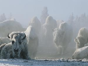 A Frost-Covered Herd of American Bison Brave the Freezing Winter Weather by Tom Murphy