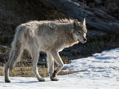A Gray Wolf Walking in Snow by Tom Murphy