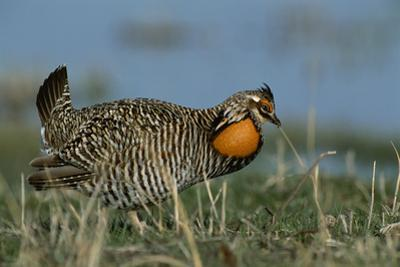 A Greater Prairie Chicken in a Mating Display