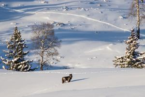 A Grey Wolf, a Member of the Druid Peak Wolf Pack That Claims the Lamar Valley in Yellowstone by Tom Murphy