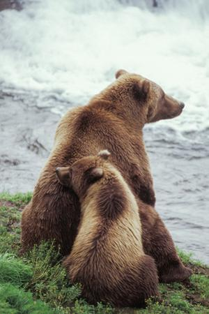A Grizzly Bear Cub Nuzzles its Mother by a Waterfall by Tom Murphy