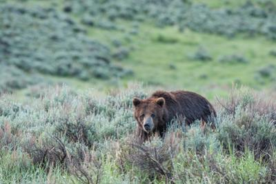 A Grizzly Bear Walks Through a Field of Grass and Sagebrush