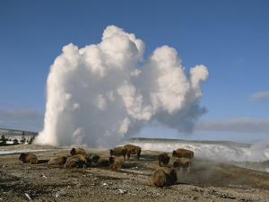 A Group of American Bison Rest Near the Old Faithful Geyser by Tom Murphy