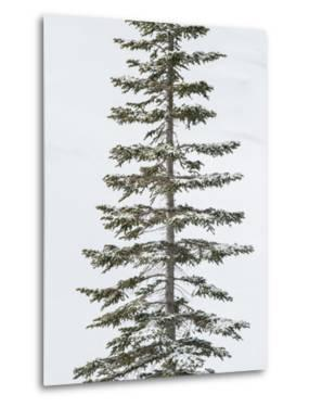 A Lodgepole Pine Covered in Snow in Winter by Tom Murphy