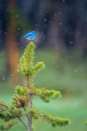 A Male Mountain Bluebird Perched on the Top of a Small Lodgepole Pine, Watching for Insects by Tom Murphy