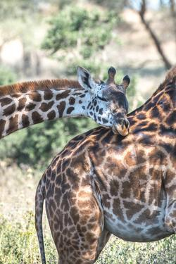 A Pair of Giraffes, Giraffa Camelopardalis, in Serengeti National Park by Tom Murphy