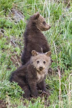 A Pair of Grizzly Bear Cubs by Tom Murphy