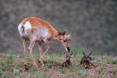 A Pronghorn Antelope with Her Newborn Twins