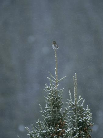 A Pygmy Owl Perched in the Top of an Evergreen Tree in a Snow Storm by Tom Murphy