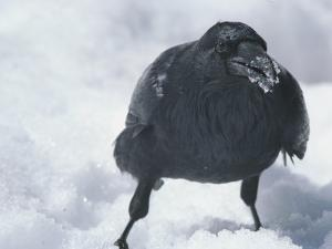A Raven Eats a Mouthful of Snow by Tom Murphy