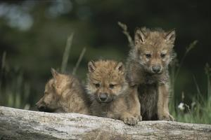 A Trio of Captive Wolf Pups  Stand Behind a Fallen Tree Trunk by Tom Murphy