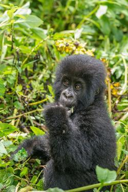 A Young Mountain Gorilla, Gorilla Beringei Beringei, Eating Leaves of Plants by Tom Murphy