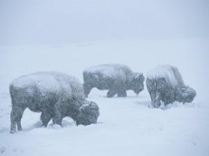 American Bison Graze During a Snowstorm on a Snow-Covered Plain by Tom Murphy
