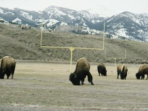 American Bison Graze on a Football Field Near the Mountains by Tom Murphy