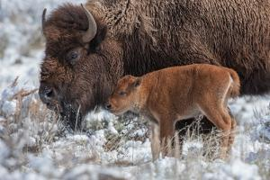 An American Bison Calf Stands Next to an Adult by Tom Murphy