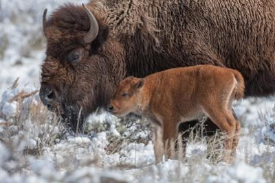 An American Bison Calf Stands Next to an Adult