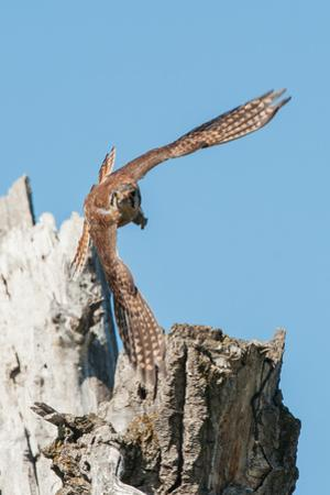 An American Kestrel Takes Off from a Broken Cottonwood Tree