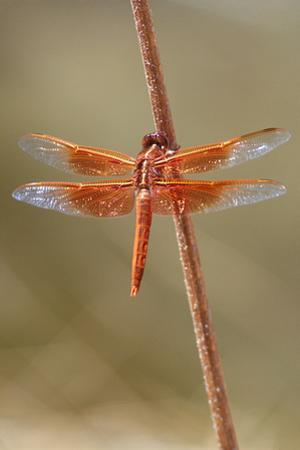 An Orange Dragonfly on an Orange Reed