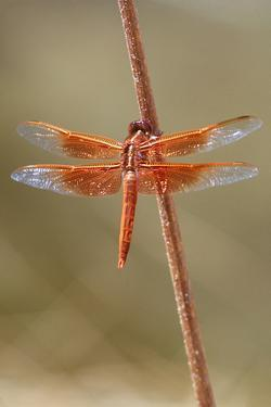 An Orange Dragonfly on an Orange Reed by Tom Murphy