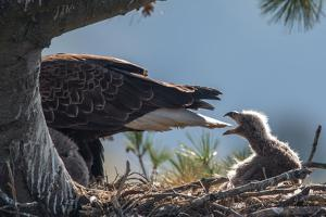 Bald Eagle, Haliaeetus Leucocephalus, on Nest with its Chick by Tom Murphy