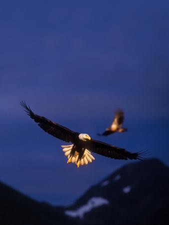 Bald Eagles Were Lit by Gold Sunlight at Sunset by Tom Murphy