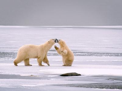 Cub on its Hind Legs Touching Noses with its Mother on Ice by Tom Murphy
