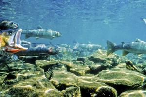 Cutthroat Trout Face Upstream Congregating in Shallow Pools in Streams During Spawning Season by Tom Murphy