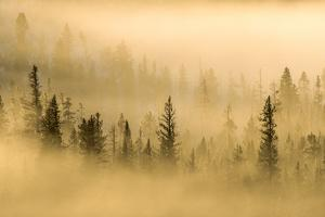 Fog Rolls over the Tops of Trees in a Forest by Tom Murphy