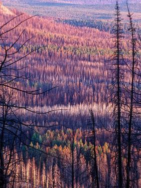 Forest Fire Scorched Trees That Will Eventually Allow New Growth by Tom Murphy