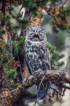 Great Grey Owl, Strix Nebulosa, Perching on the Branch of a Tree Yawning by Tom Murphy