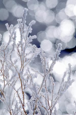Heavy Frost Formed on Dry Sweet Clover Stems During an Early Morning Fog in the Upper Lamar Valley by Tom Murphy