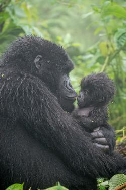Mountain Gorilla, Gorilla Beringei Beringei, Embracing its Young by Tom Murphy