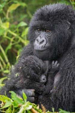 Mountain Gorilla, Gorilla Beringei Beringei, with its Young by Tom Murphy