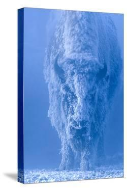 Portrait of a Female Buffalo or Bison with Frozen Snow on its Coat by Tom Murphy