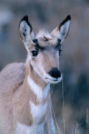 Portrait of a Seven Month Old Pronghorn Antelope by Tom Murphy