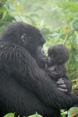 Portrait of Mountain Gorilla, Gorilla Beringei Beringei, Embracing its Young by Tom Murphy