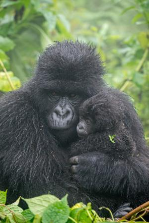 Portrait of Mountain Gorilla, Gorilla Beringei Beringei, with its Young by Tom Murphy